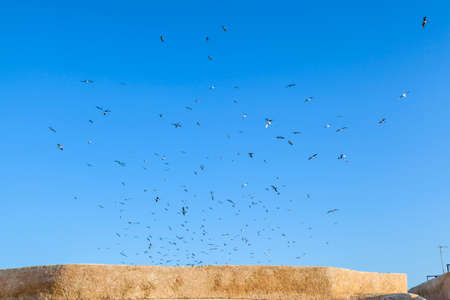 wheeling: seagulls are wheeling above the shining blue sky over the historic old town of El Jadida in Morocco in Africa