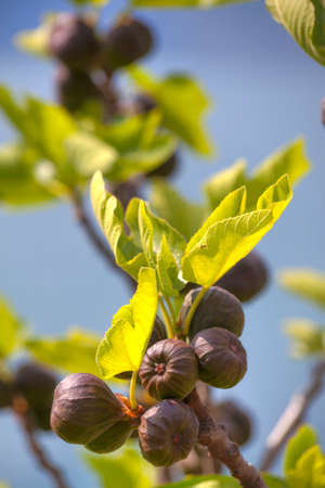 fig tree: a fig tree with shining green leafs and violet soft fruits is standing at the bank of the Lake Garda by Malcesine in Italy