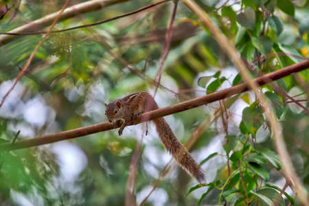 A squirrel is sitting on a twig of a mango tree on the tropical island Sri Lanka in the Indian Ocean