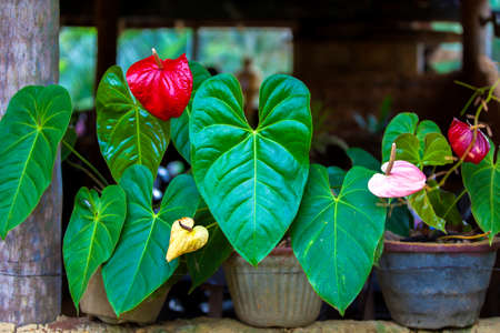 Gorgeous flamingo flowers with luminous red blossoms and luminous green leaves are standing as ornamental plants in front of a house on the tropical island Sri Lanka in the Indian Ocean