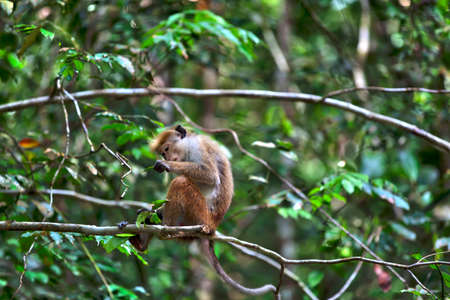 colorfulness: Little wilde green monkeys or guenons characterize the landscape of the rainforests and the exotic nature on the tropical island Sri Lanka in the Indian Ocean