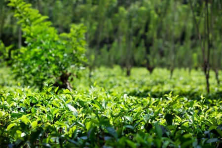 A luminous green tea plantation with healthy tea plants on the gorgeous tropical island of Sri Lanka in the Indian Ocean Stock Photo