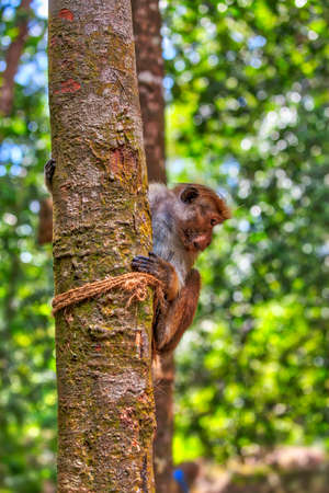 Little wilde green monkeys or guenons characterize the landscape of the rainforests and the exotic nature on the tropical island Sri Lanka in the Indian Ocean