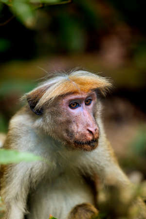 characterize: Little wilde green monkeys or guenons characterize the landscape of the rainforests and the exotic nature on the tropical island Sri Lanka in the Indian Ocean