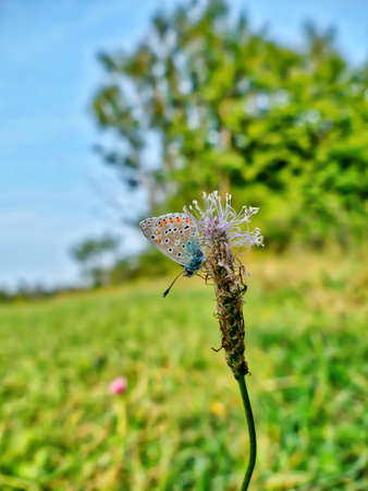 A butterfly on a luminous shining meadow with lots of wild herbs is sitting on a plant named buckhorn Stock Photo