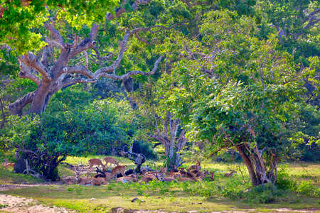 a group of axis deer are standing on a glade in the Yala Nationalpark on the tropical island Sri Lanka in the Indian Ocean during a jeep safari tour