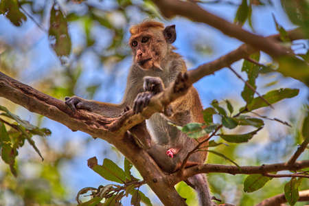 a toque macaque is sitting on a tree in the Yala Nationalpark