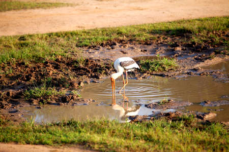 a painted stork is fishing in a pond in the Yala Nationalpark on the tropical island Sri Lanka in the Indian Ocean