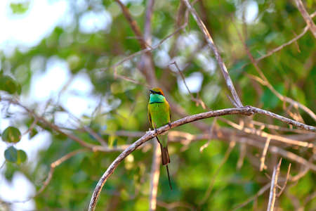 colorful little green bird named bee-eater is sitting on a dry twig in the Yala Nationalpark on the tropical island Sri Lanka in the Indian Ocean during a jeep safari tour