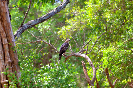 a Crested Hawk Eagle is sitting on a twig in the green jungle of the Yala Nationalpark on the tropical island Sri Lanka in the Indian Ocean during a jeep safari tour