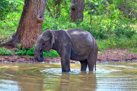 an Indian Elephant while bathing in a pond in the Yala Nationalpark on the tropical island Sri Lanka in the Indian Ocean during a jeep safari tour