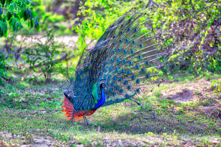 peacock with gorgeous spread colored feathers shows his tail for his peacock lady in the Yala Nationalpark on the tropical island Sri Lanka in the Indian Ocean during a jeep safari tour