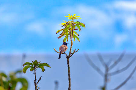A red-vented bulbul, an exotically bird, is sitting on a twig in Asia on the fascinating tropical island Sri Lanka Imagens