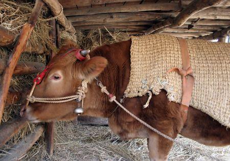 folk village: An ox eating hay at Suwon Folk Village, South Korea