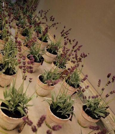 lavendar: Pots of lavendar