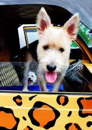 Dog leaning out of a car window featuring leopard print photo