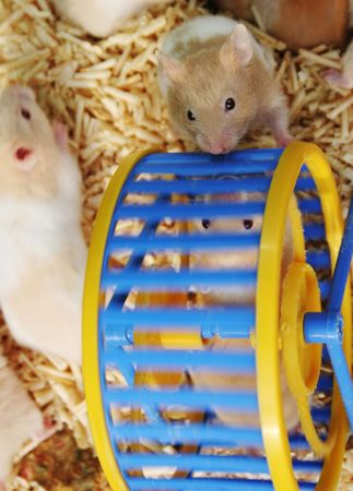 wheel spin:  hamsters playing on a wheel Stock Photo