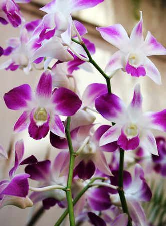 Beautiful purple and white Thai orchids photo