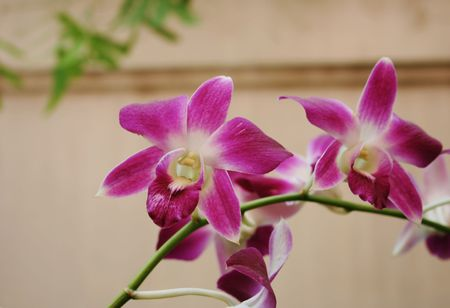 Beautiful pink Thai orchids photo