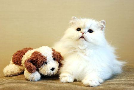 Sch�ne wei�e persische Katze mit einem Spielzeughund Lizenzfreie Bilder