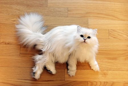 persian cat: White fluffy Persian cat laying on the floor