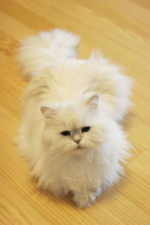 fussy: White fluffy Persian cat laying on the floor