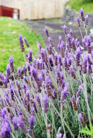 lavendar: Lavendar in a pretty spring garden.