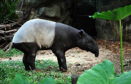 captivity: Malayan tapir in captivity.