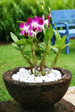 Beautiful pink orchids growing in a pot in tropical Thailand. photo