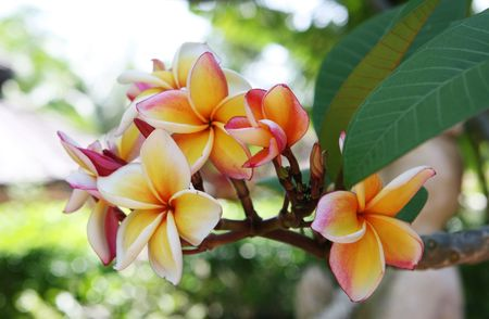 White and yellow frangipani flowers in Thailand.