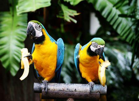 Tropical parrots eating banana at a zoo. photo