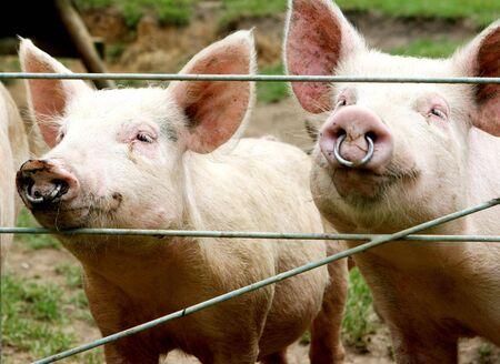 paddock: Close-up of a paddock of pigs - farming image. Stock Photo
