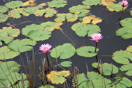 Water lilly garden with pink flowers in bloom. Stock Photo - 8528442