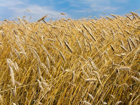 barley field: A mature barley field in summer Stock Photo