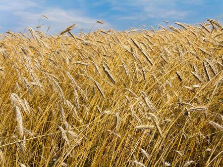 cebada: Un campo de cebada madura en verano Foto de archivo