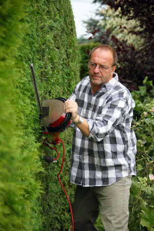 hedge plant: Man cuts his hedge with a hedge trimmer