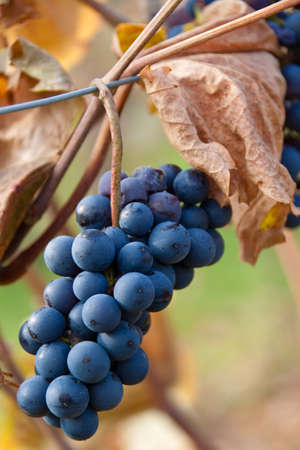 reb: Grapes in autumn on a vine in the vineyard Stock Photo