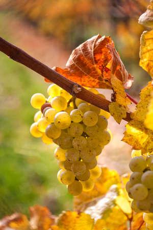 reb: Uvas en oto�o en una vi�a en la Vi�a