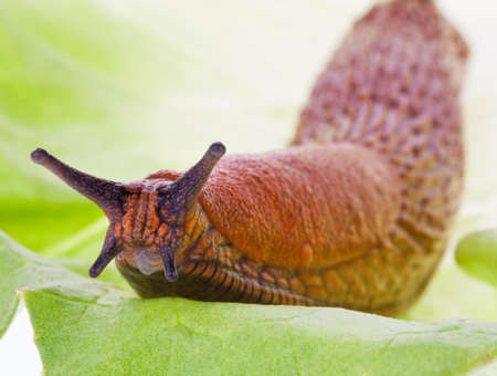 gastropoda: A slug crawling on a green leaf salad