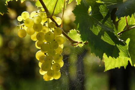 reb: Uvas en una vid en el oto�o. Weingarten, un vino