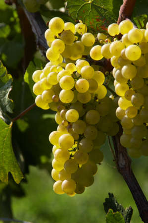 reb: Grapes on a vine in the fall. Weingarten, a wine