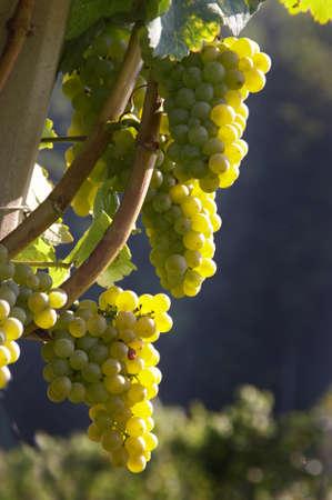 reb: Uvas en una vi�a en la ca�da. Weingarten, un vino Foto de archivo