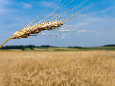 cereal box: Wheatfield with barley spike in summer Stock Photo