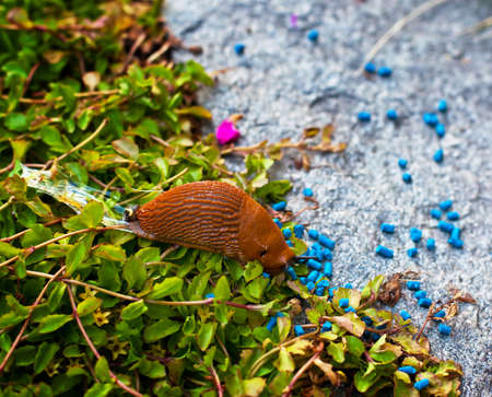 A snail in the garden with vermin killers. photo