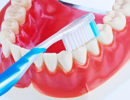 cepillarse los dientes: Un modelo dental con un cepillo de dientes cuando cepillado de dientes. Cepillado de dientes previene la caries dental. Foto de archivo
