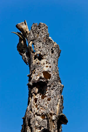 economic botany: an old trunk of a tree against a blue sky Stock Photo