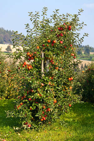 an apple tree in an orchard in the fall Stock Photo - 10975864