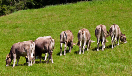 several cows graze in a pasture and enjoy the summer. animals in agriculture photo