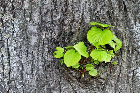 waking from a tree trunk fresh, succulent green shoots Stock Photo - 11944296