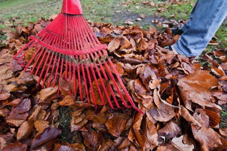 rake leaves  remove leaves  gardening in the fall Stock Photo - 13509205